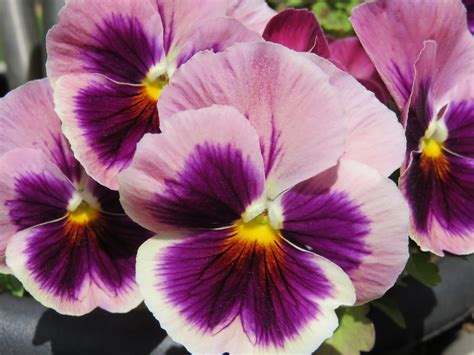Free photo: Pansy, Pansies, Purple, Bloom   Free Image on Pixabay   788153