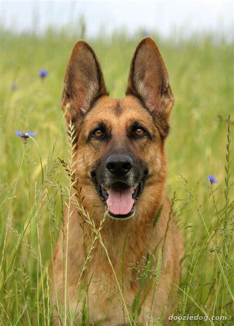 german shepherd breed german shepherd pictures photos pics breeds picture