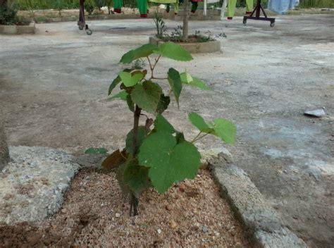 Benih Pokok Anggur mohd sobri hussin pokok anggur
