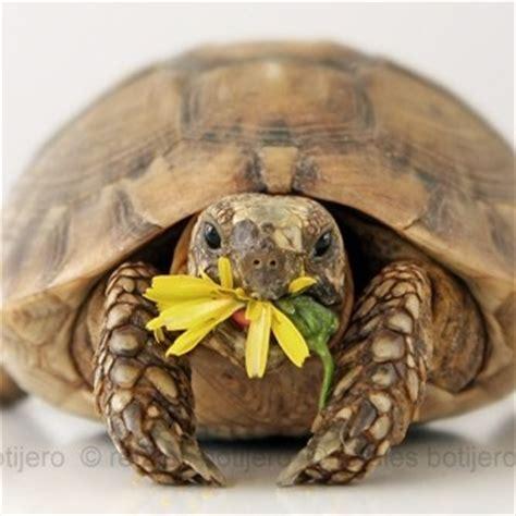 alimentazione tartarughe di terra piccole la tartaruga di terra testuggine e la tartaruga marina
