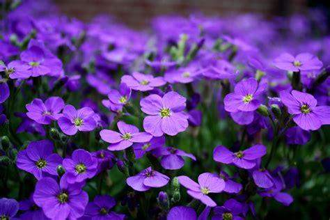 free photo flowers purple ground cover free image on pixabay 2233592