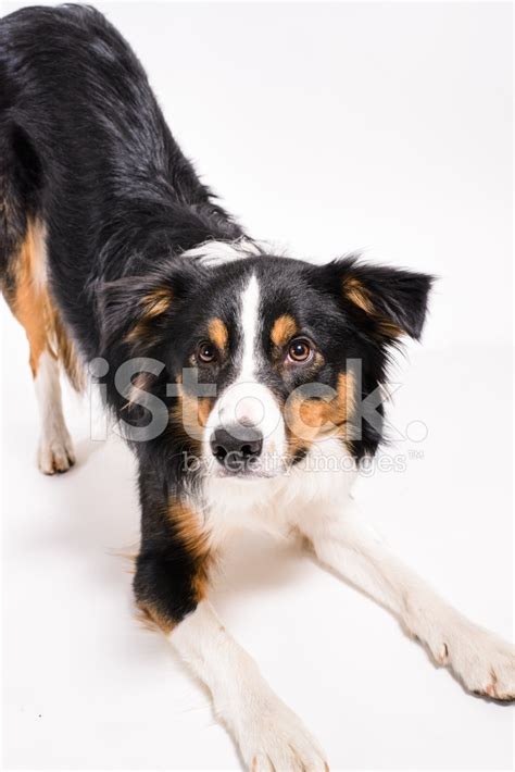 tri colored border collie tri colored border collie with white background