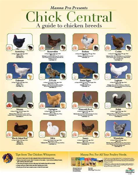 breed chart chicken breeds chart quotes