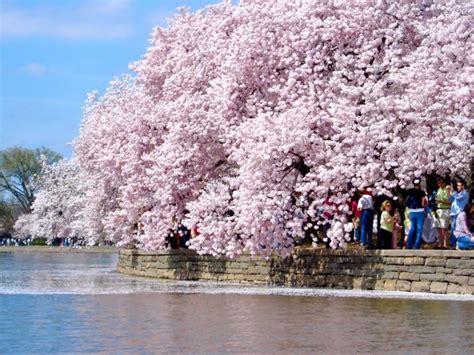 washington dc paddle boats visit cherry blossoms in washington dc maryland and virginia