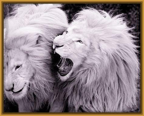 imagenes de leones albinos imagenes de leones salvajes rugiendo archivos imagenes