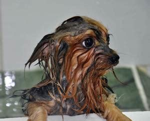 how often should a yorkie be bathed how to groom a yorkie grooming a terrier yorkie