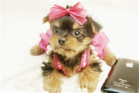 pomeranian dogs for sale in houston pomeranian puppies for sale in houston teddy poms picture breeds picture