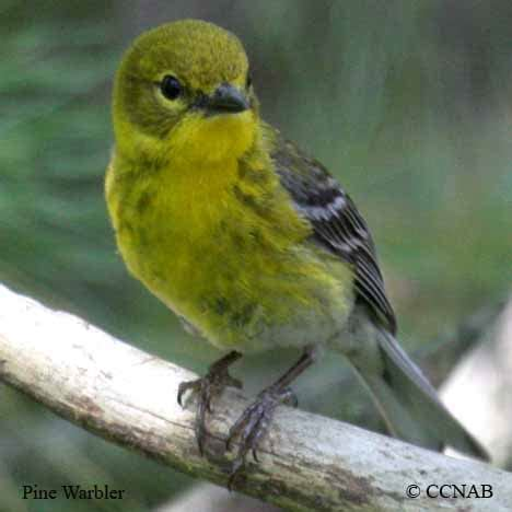 map of north america pictures pine warbler north american birds birds of north america