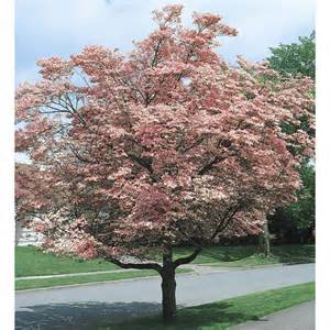 Flowering Dogwood Tree - shop pink flowering dogwood l3181 at lowes com