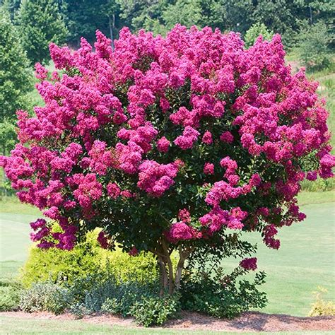 Large Pink Flowering Tree - flowering trees amp small ornamental trees perfect for your