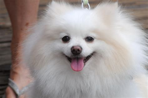 what are pomeranians known for 169 best images about pomeranian on