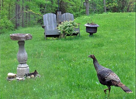 Backyard Turkey by Turkey In The Yard Content In A Cottage