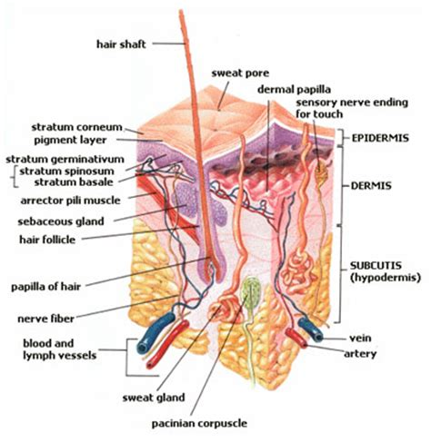 skin diagram human pictures science for