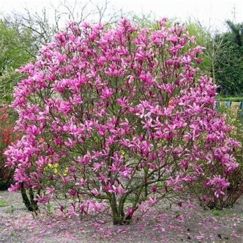 magnolia in vaso magnolia quot susan quot vaso 216 21cm vendita piante