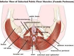 pelvic floor wallpaper