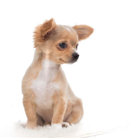 light brown puppy light brown chiwawa www pixshark images galleries with a bite