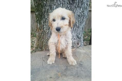 goldendoodle puppy orange county boy orange goldendoodle puppy for sale near nashville
