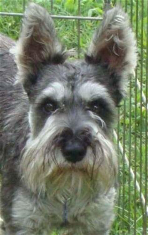 miniature schnauzer puppies rescue miniature schnauzer rescue adoptable dogs i like