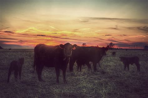 cattle sunset photograph  thomas zimmerman