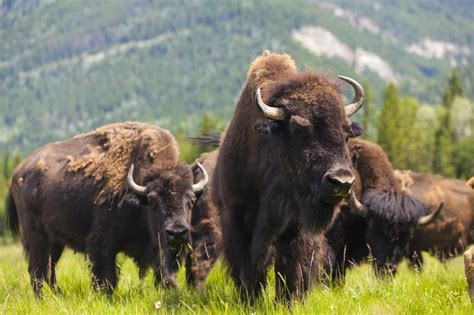 adoption buffalo animals news facts by world animal foundation bison