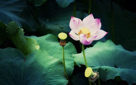 wallpaper flowers photos lotus flower wallpapers and images wallpapers pictures