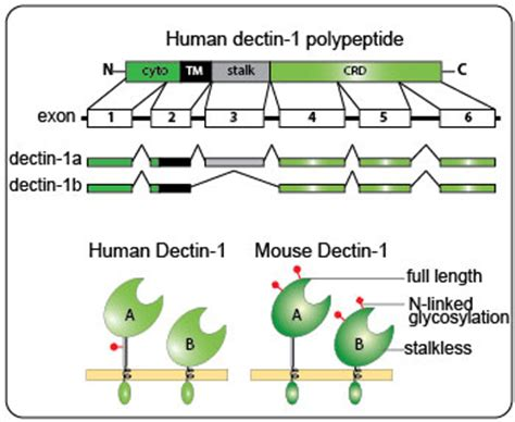 pattern recognition receptors require n glycosylation to mediated plant immunity review on β glucans as dectin 1 ligands