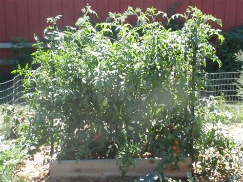 vines for trellis a tomato trellis that won t fall