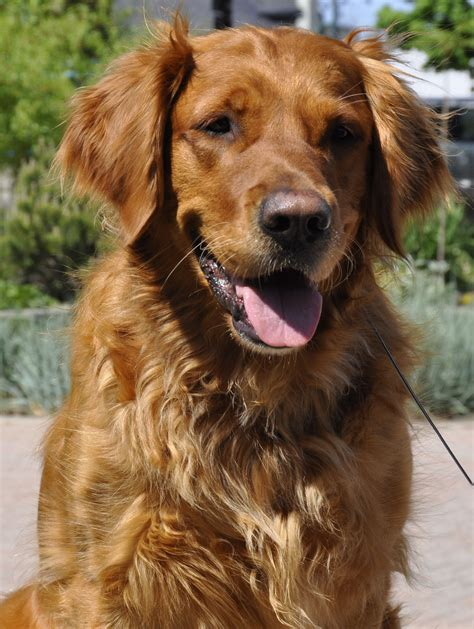 golden retriever brown photo