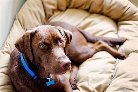 why is chocolate bad for dogs 10 chocolate labs teach you why chocolate is so bad for