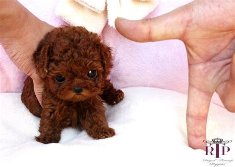 teacup poodle rescue indiana 25 best ideas about micro teacup dogs on