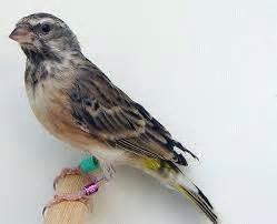 Ruji Sangkar Burung Putih cara merawat burung blackthroat agar ngeroll terusmr green