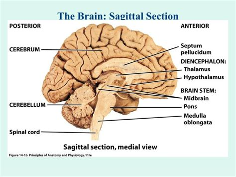 brain midsagittal section ppt the brain sagittal cartoon powerpoint presentation