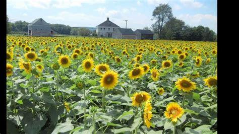 sunflower farm sunflower farm youtube