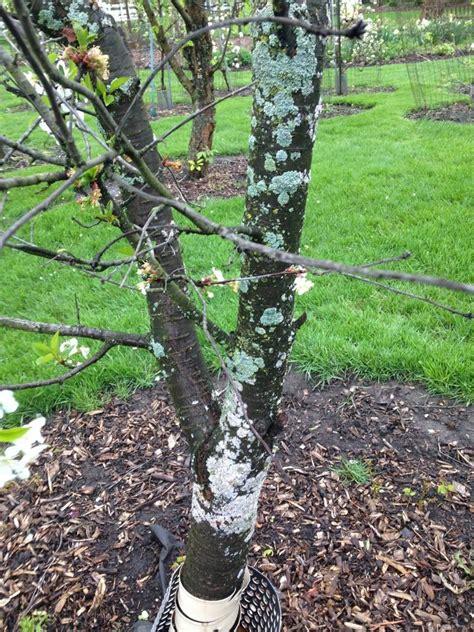 cherry tree rehab fruit tree fungus treatment images