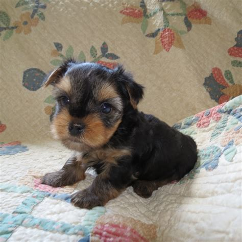 5 week puppy 26 best images about ballard acres yorkies on yorkie track and pictures of