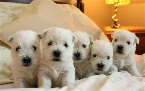 westie puppies gorgeous westie puppies birmingham west midlands pets4homes