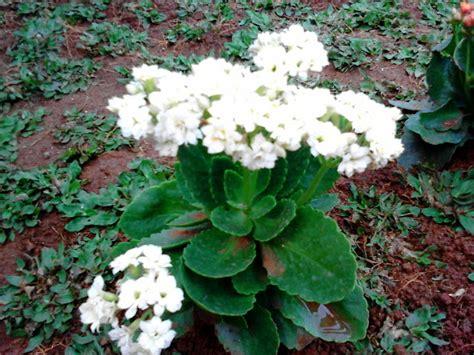 Tanaman Hias Cocor Bebek Bunga pohon cocor bebek hias cocor bebek hias tanaman hias