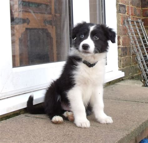 10 week puppy alfie border collie puppy 10 weeks lewes east sussex pets4homes