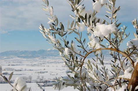 ulivo da giardino ulivo in inverno piante da giardino come coltivare l
