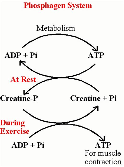 creatine phosphate functions in the cell by alactacid atp pc energy system hsc pdhpe