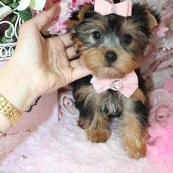 yorkie puppies for sale ct yorkie puppies pet stores 7 l ambiance ct bardonia ny phone number yelp