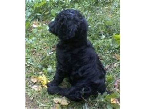 standard poodle puppies for sale ohio black standard poodle puppies for sale in ohio dogs in our photo