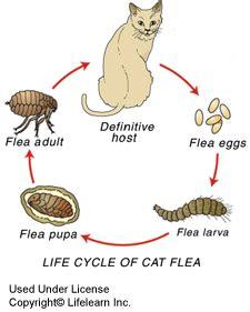 3 week puppy has fleas fleas get them out of here sacramento animal hospital sacramento animal