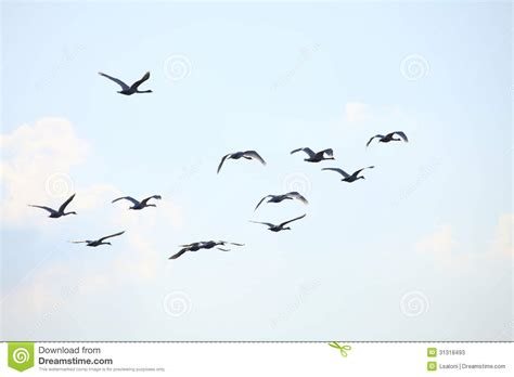migration birds swan stock photos image 31318493