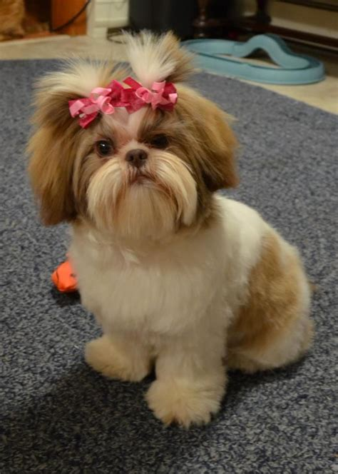 best shoo for a shih tzu 1000 images about shih tzu on maltese pets and brussels griffon puppies