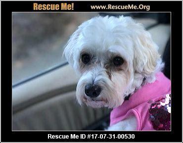 havanese rescue washington washington havanese rescue adoptions rescueme org