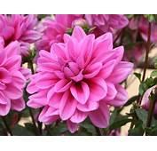 Dahlias  Les Diff&233rentes Formes De Fleurs