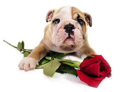 dogs day valentines dogs www imgkid the image kid has it