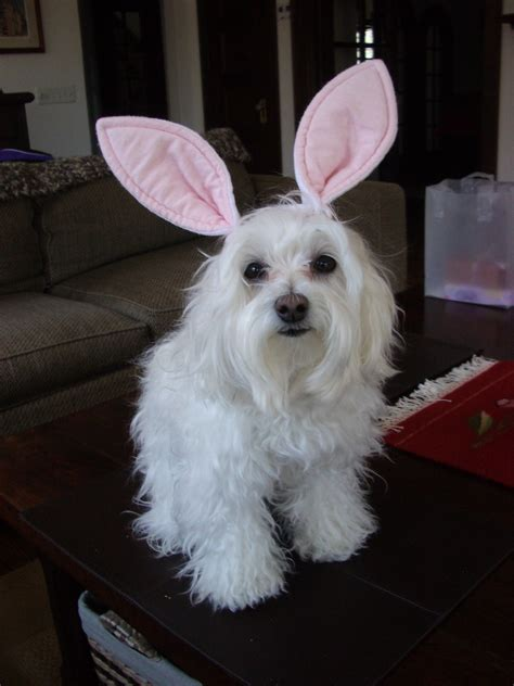 bunny puppy bunny ears breeds picture