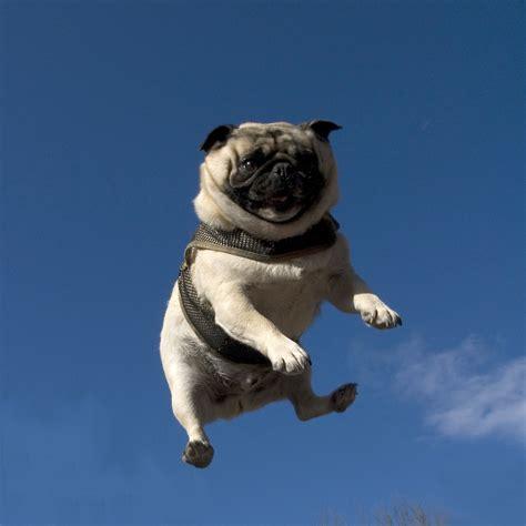 flying pug animal atbreak